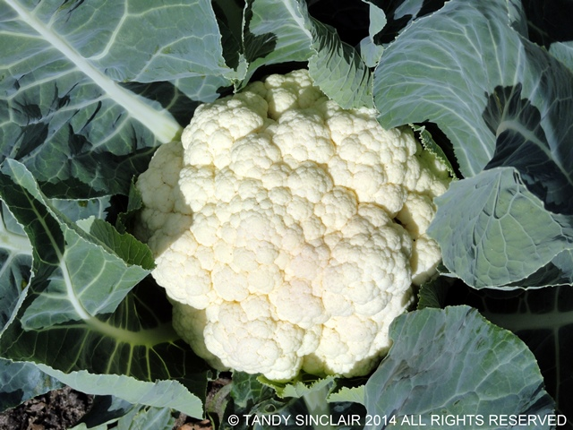 Regional And Seasonal Challenge To Use Cauliflower